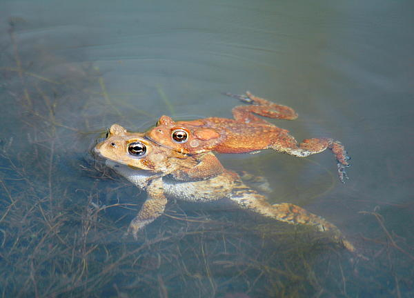 Leonora Bridges - Mating Frogs