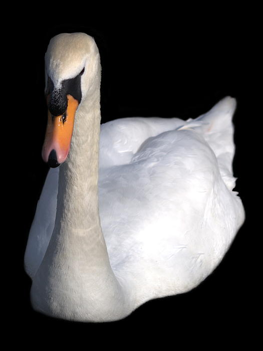 Lynne Dymond - Mute Swan at Night