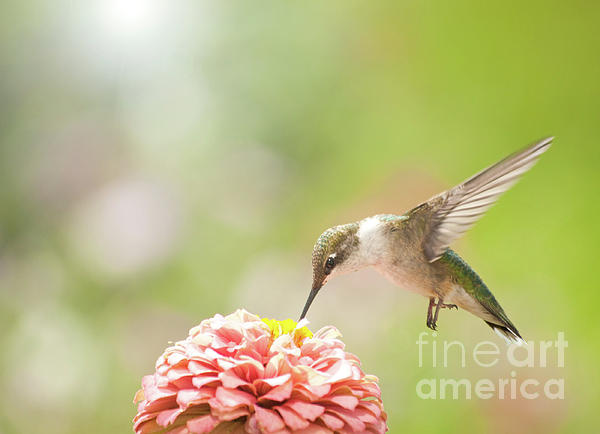 Nectar Addict Photograph  - Nectar Addict Fine Art Print