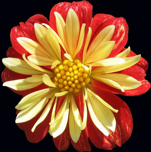 dahlia black red orange flower background garden nature office gift