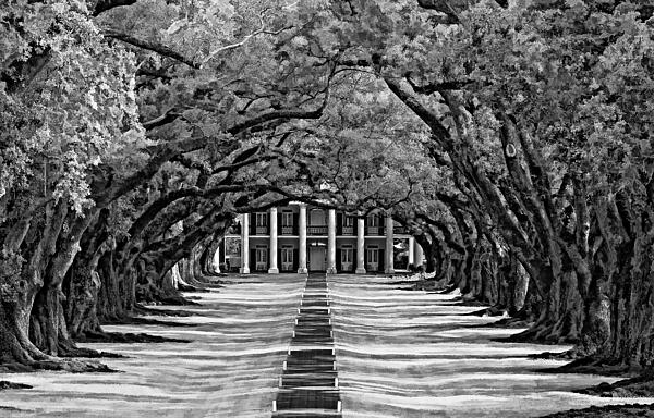 Oak Alley Monochrome Photograph