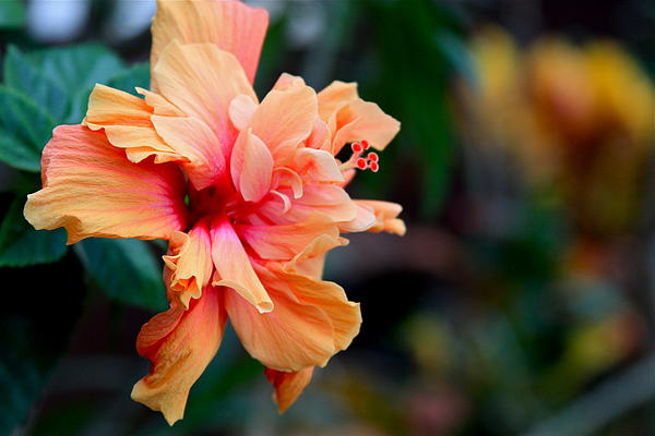 Karon Melillo DeVega - Orange Crush Double Hibiscus