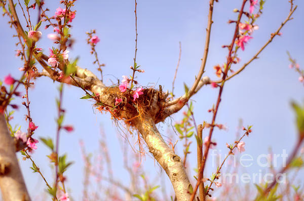 Peach Tree 12 Photograph  - Peach Tree 12 Fine Art Print