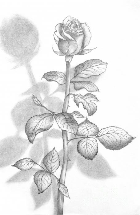 Pencil Drawing Beautiful Rose Greeting Card Evelyn Sichrovsky