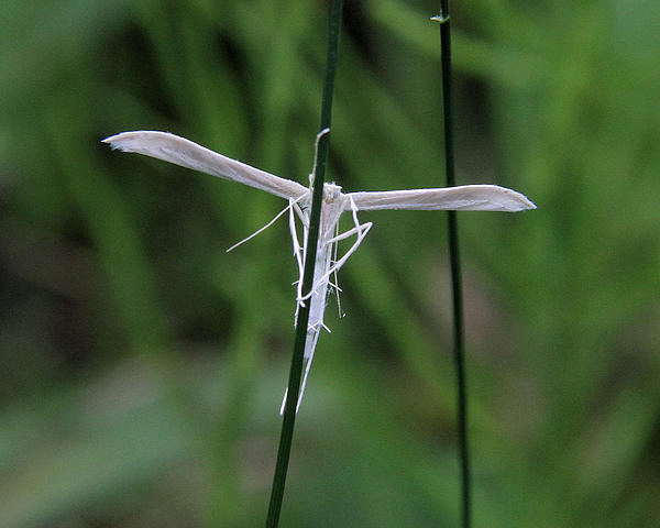 Doris Potter - Plume Moth