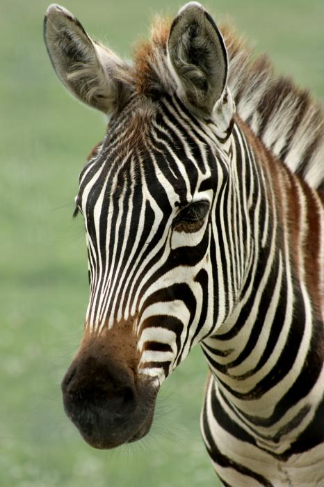 Barbara  White - Portrait of a Zebra