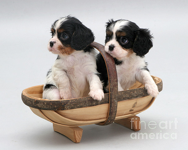 Animal Photograph - Puppies In A Trug by Jane Burton