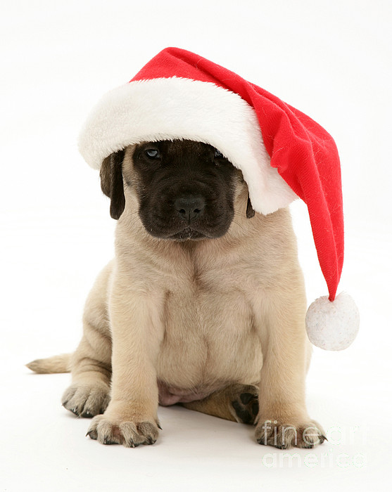 Animal Photograph - Puppy In A Santa Hat by Jane Burton