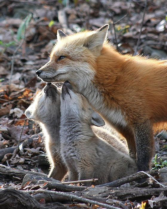 Geek loves geek pictures Red-fox-kits-and-parent-doris-potter
