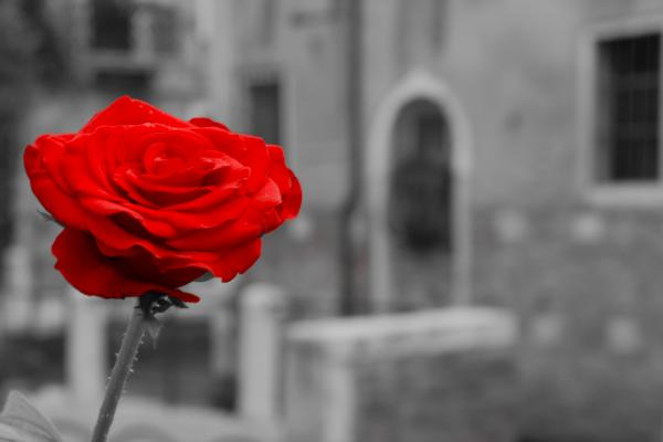 Red Rose with Black and White Background Photograph - Red Rose with Black