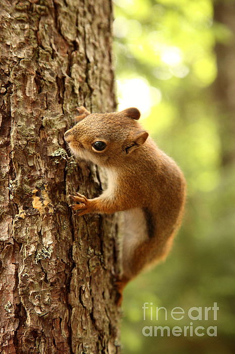 Fauna  - Red Squirrel by Ted Kinsman
