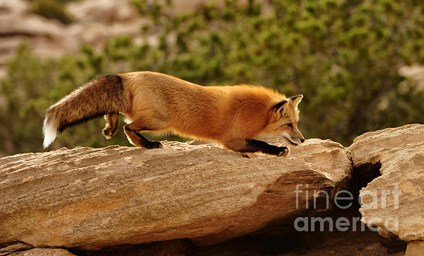Dennis Hammer - Red-tailed Fox Running