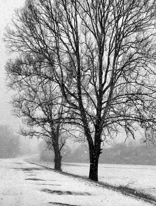 pics of winter storms. Roadside Trees in Winter Storm Photograph - Roadside Trees in Winter Storm