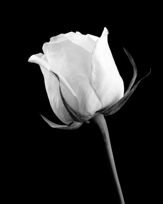 white black roses white and black rose