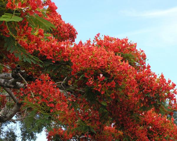 Mary Deal - Royal Poinciana Branch
