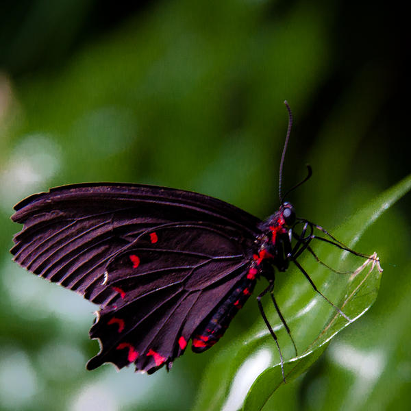 David Patterson - Scarlet Swallowtail