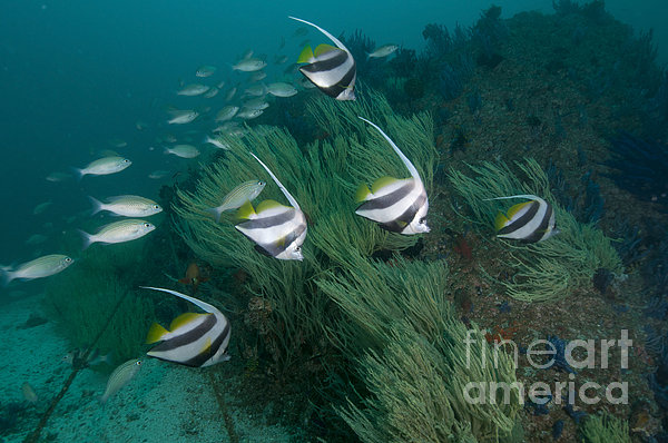 Mathieu Meur - School Of Bannerfish, Musandam, Dibba