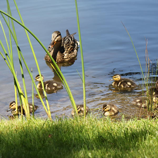 Helen Fern - Seven Little Ducklings in a Row
