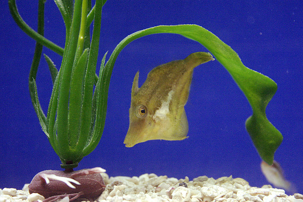 Sharpnose Puffer Fish Photograph