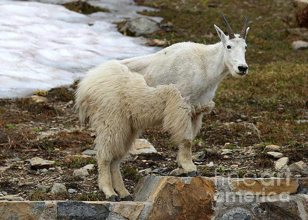 Carol Groenen - Shedding Mountain Goat