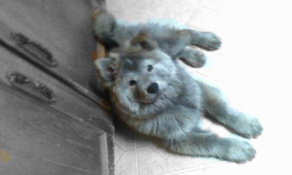 Fox Meadows Farm ~Open and Accepting!~ Silver-coated-chow-and-husky-mix-margret-anne-shifrin