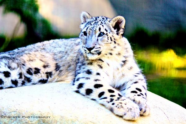 snow leopard pictures. Snow Leopard Photograph - Kyle