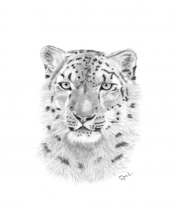 snow leopard pictures. Snow Leopard Drawing - Snow