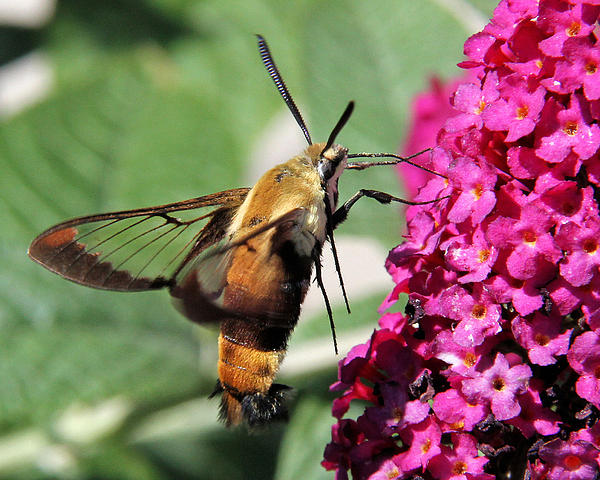 Doris Potter - Snowberry Clearwing Moth