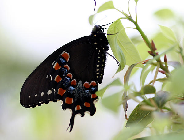 April Wietrecki - Spicebush Swallowtail Butterfly