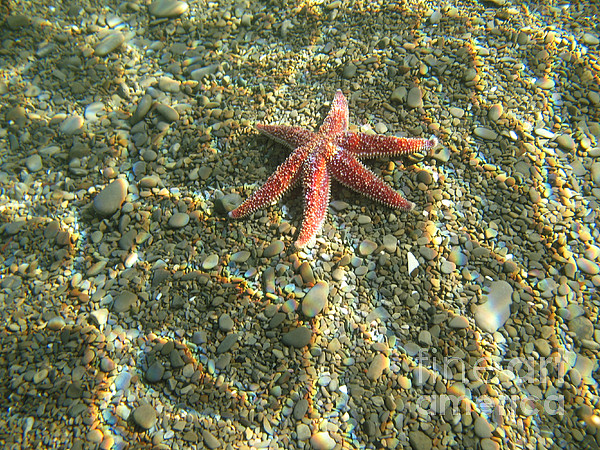 Underwater Photograph - Starfish In Shallow Water by Ted Kinsman