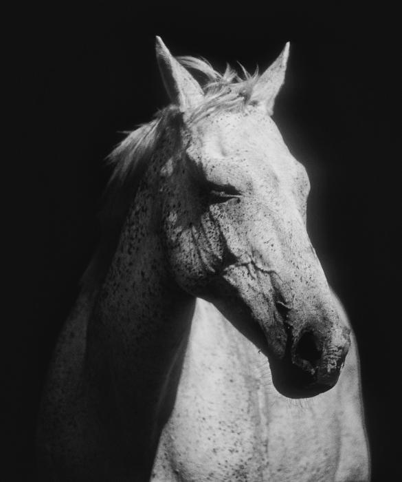 white horses photographs, black and white photographs,