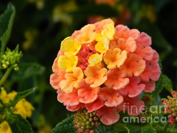 Sunrise Inspired Flower Photograph  - Sunrise Inspired Flower Fine Art Print