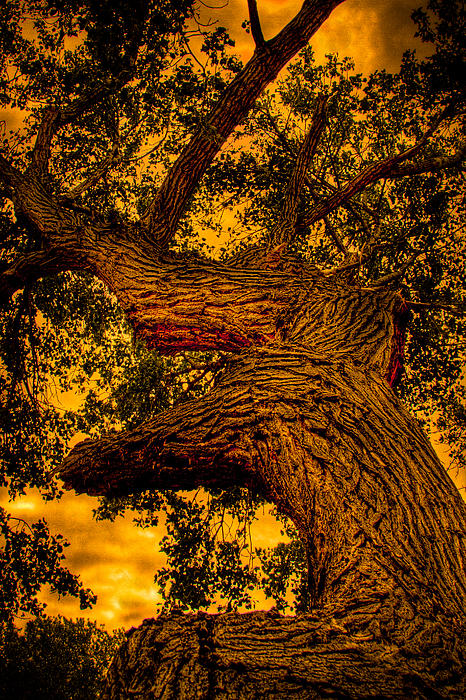 David Patterson - The Oak Tree at Red Rock Canyon