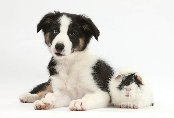 Tricolor Border Collie Pup Photograph - Tricolor Border Collie Pup And Guinea by Mark Taylor