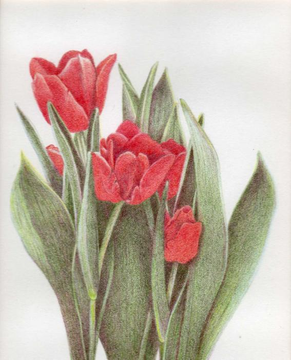 Tulips Drawing by Bonnie Haversat. Tags: colored pencil drawings, flowers
