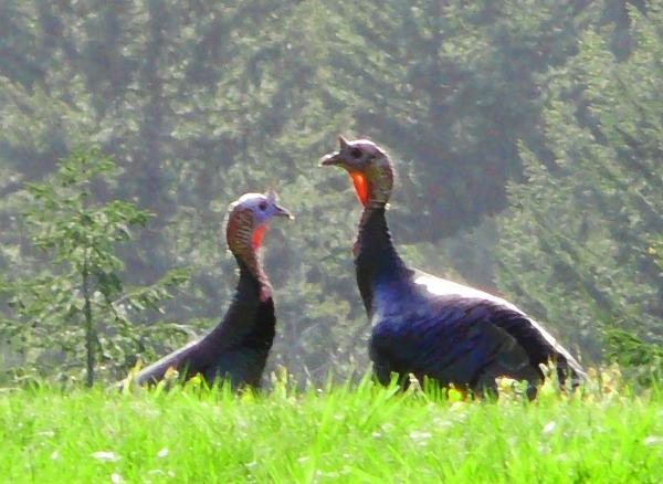 Turkeys in Love Photograph
