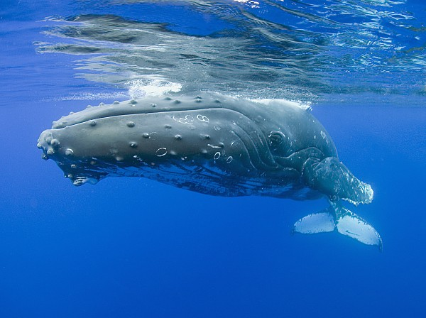 whale pictures underwater. Underwater Humpback Whale