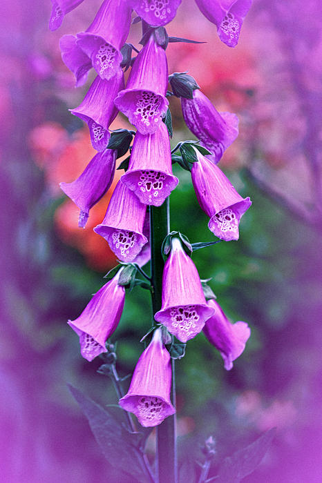 Richard Cummings - Vintage Foxgloves