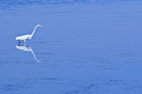 White Bird On Blue Photograph  - White Bird On Blue Fine Art Print