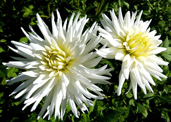 Will Borden - White Dahlias In Autumn