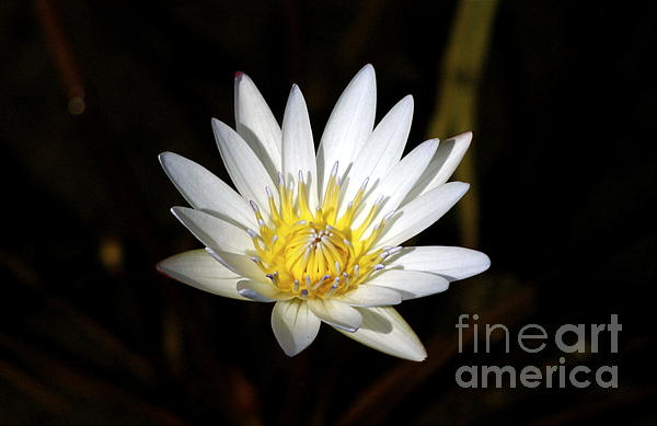 Lehua Pekelo-Stearns - White Waterlily