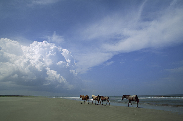 Wild Horses Roaming A Georgia Coast Photograph  - Wild Horses Roaming A Georgia Coast Fine Art Print
