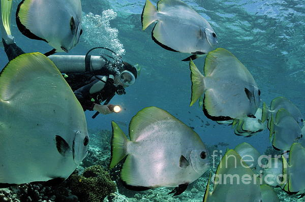 Woman Diving With School Of Batfish Photograph  - Woman Diving With School Of Batfish Fine Art Print