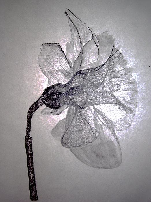 X-Ray Daffodil Drawing - X-Ray Daffodil Fine Art Print