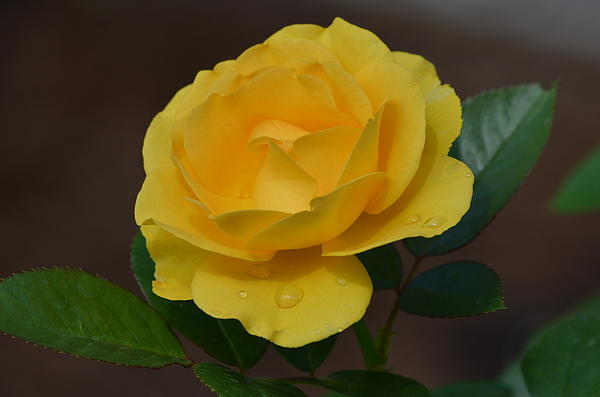 Kathy Gibbons - Yellow  Rose