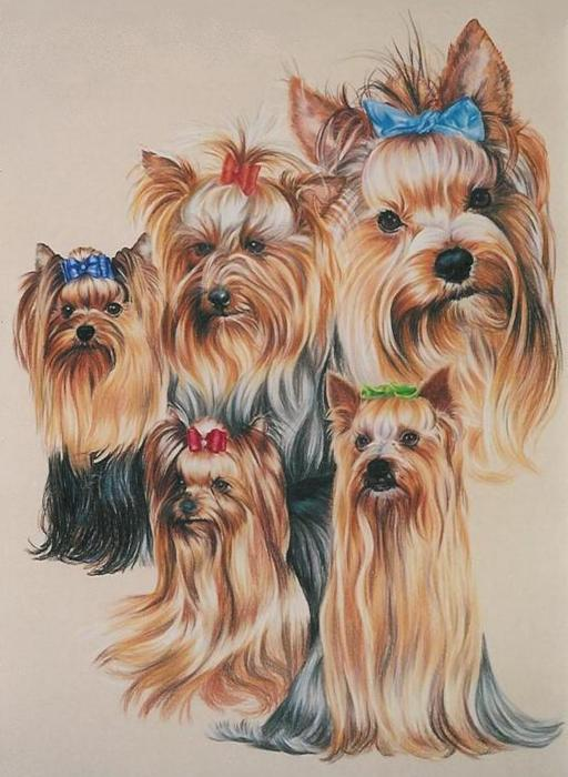 Haircuts For Yorkshire Terriers. jagd terriers texax