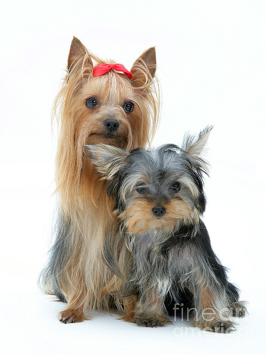 Dog Photograph - Yorkshire Terriers by Jane Burton