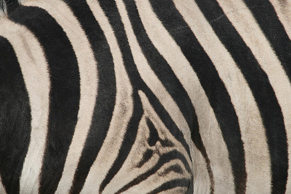 black and white zebra stripes. ZEBRA STRIPES BLACK AND WHITE
