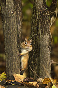 Chipmunk Digital Art -  Chipmunk Peek A Boo by Christina Rollo