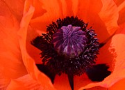 Kathleen Struckle -  Orange Poppy